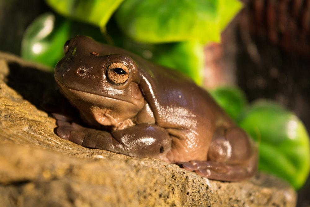 White's Tree Frog Ambassador