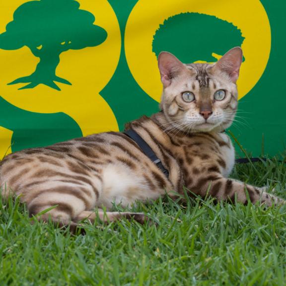"""Bengal Cat """"Leo"""""""