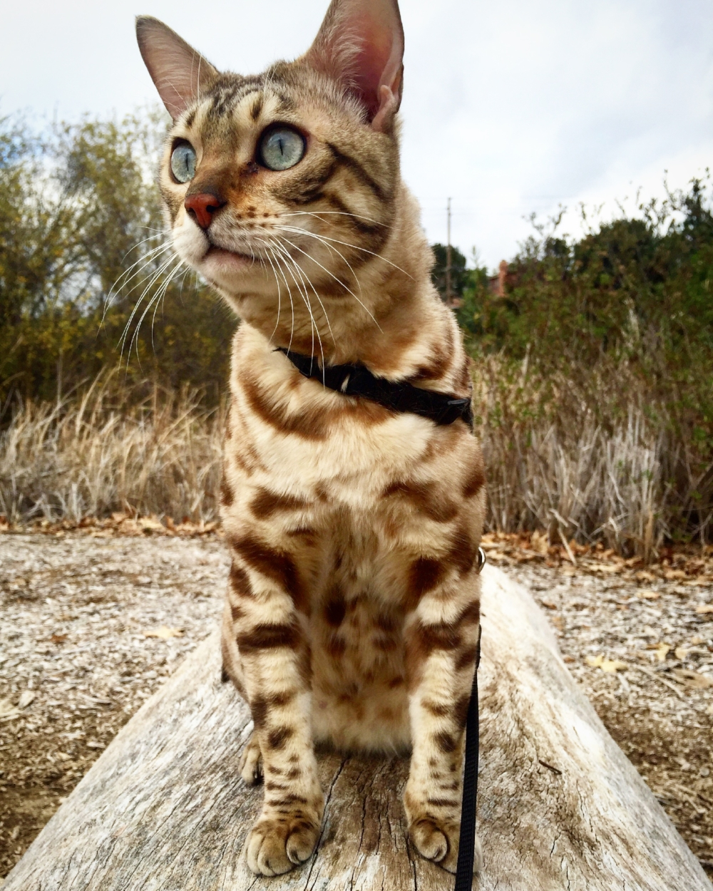 Leo is enjoying a nice walk outside on his leash.