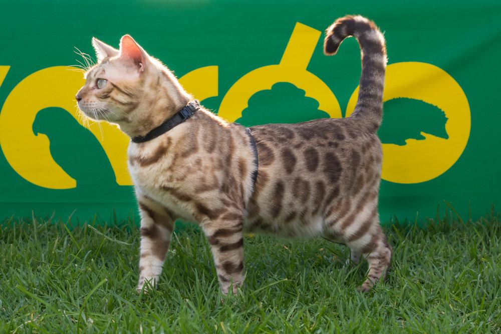 Leo, Zovargo's Bengal Cat