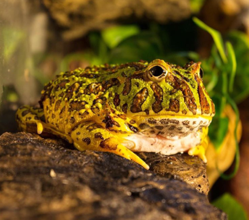 Mr. Ripley our Pac-Man Frog - His famously beautiful patterned skin on display