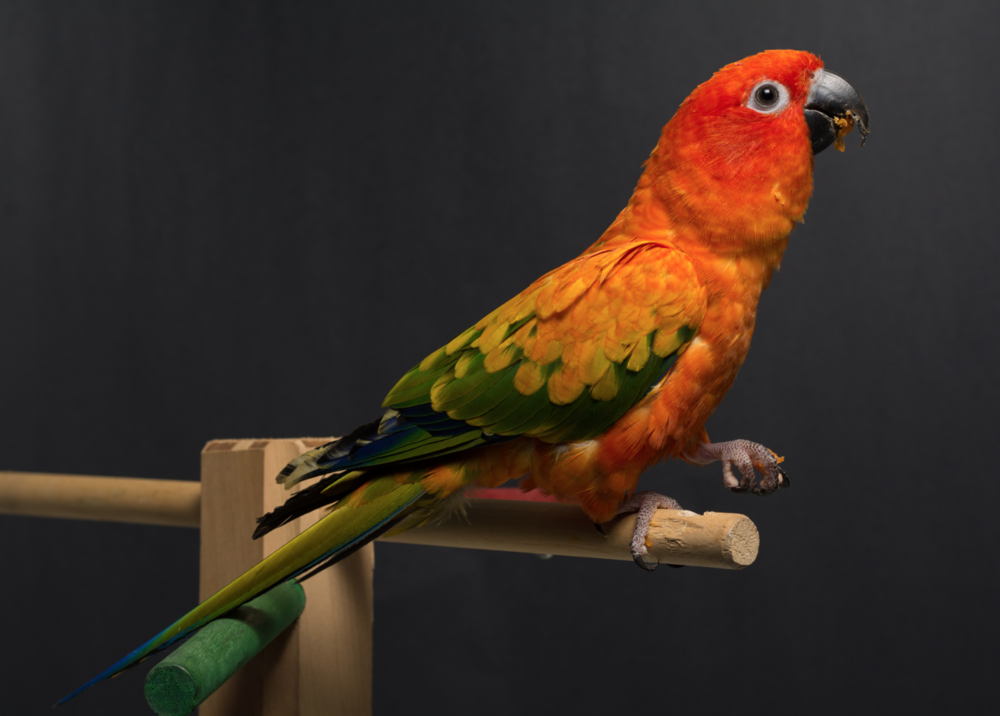 Chico the Sun Conure