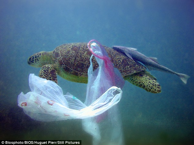 A Sea Turtle Trapped in Several Plastic Bags (Source: Daily Mail)
