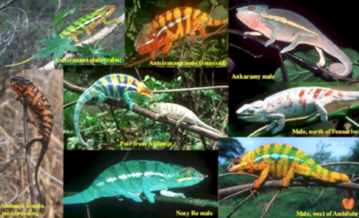 EXAMPLES OF PANTHER CHAMELEONS FROM DIFFERENT MADAGASCAN LOCATIONS. SOURCE: http://bluechameleon.org/Photo%20&%20Image%20Stockpile%20-%20BCV/Pardalis%20collage%20WITH%20captions.jpg