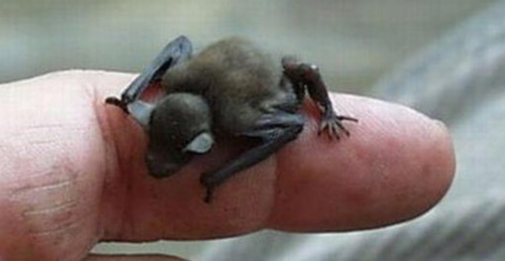 The tiny BumbleBee bat!