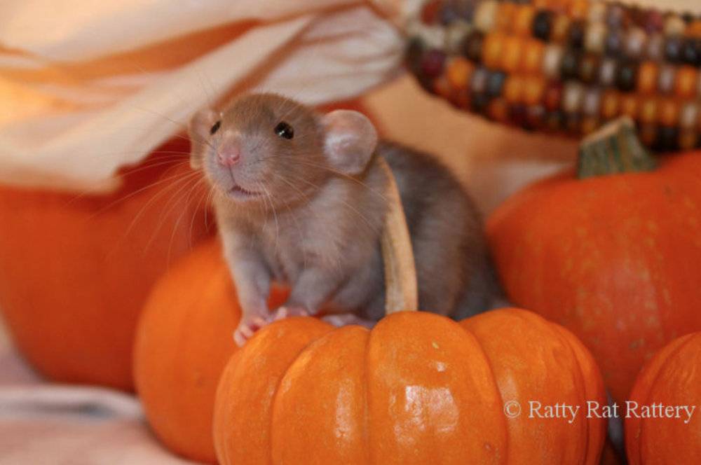 Photo: Patty Rat Rattery