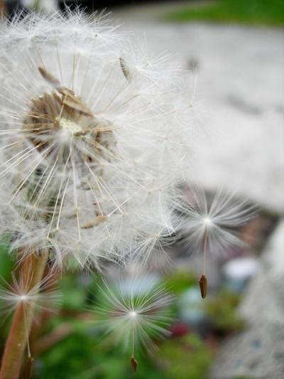 dandelions.png