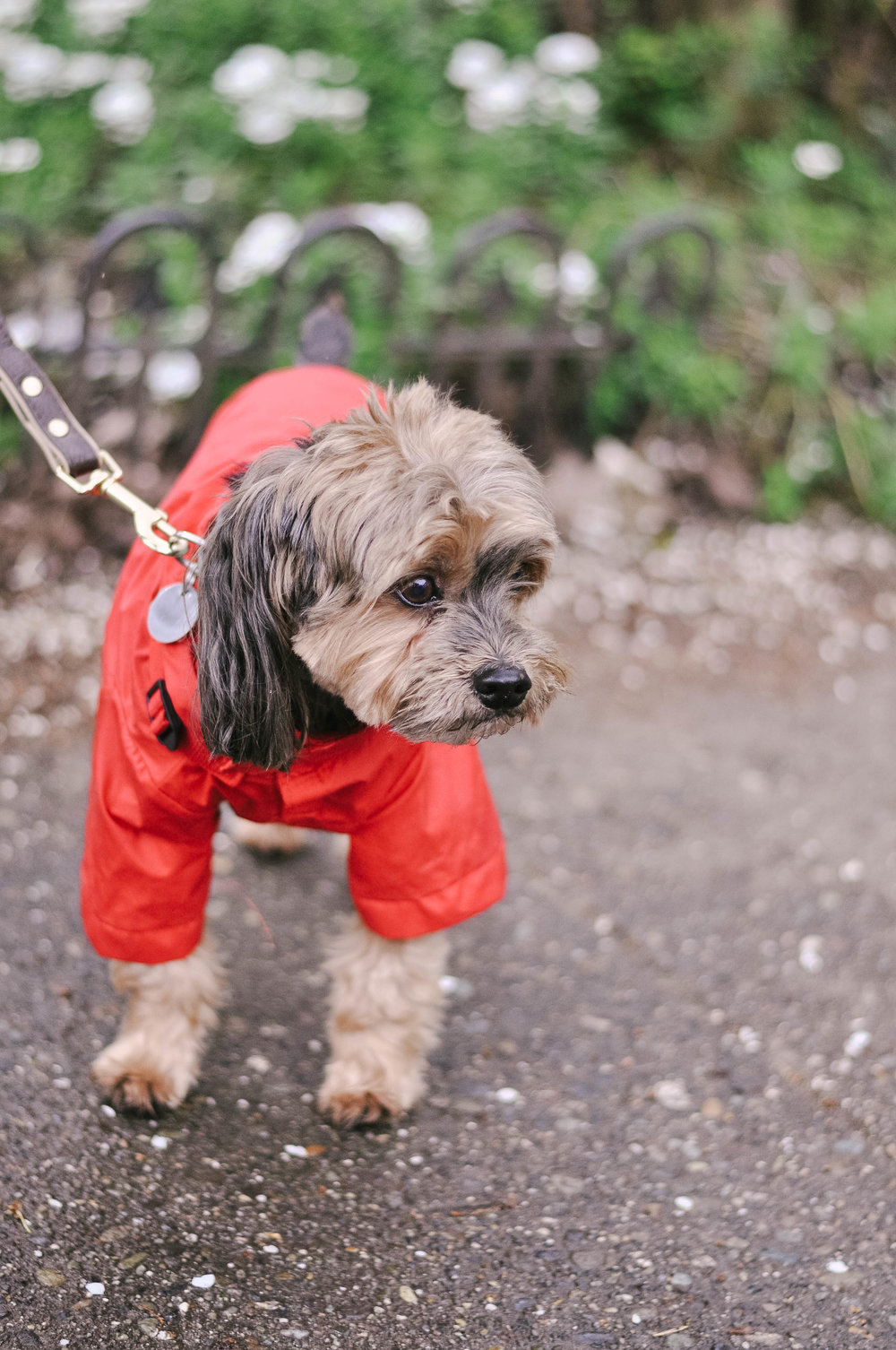 Little dog in red raincoat