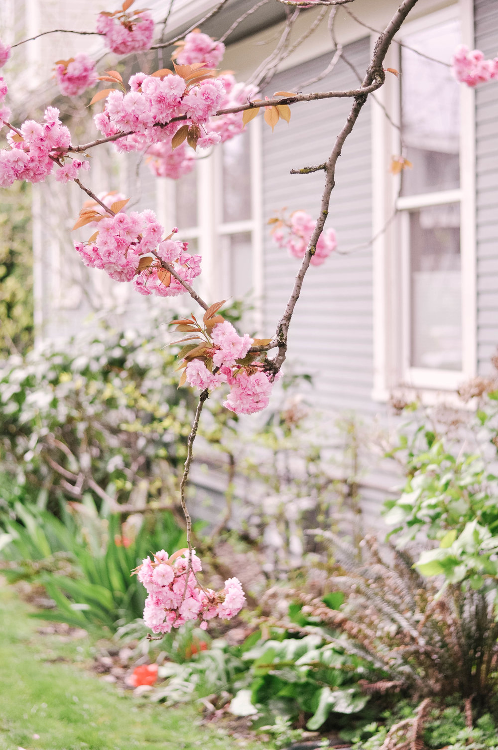Pink flowering tree in yard
