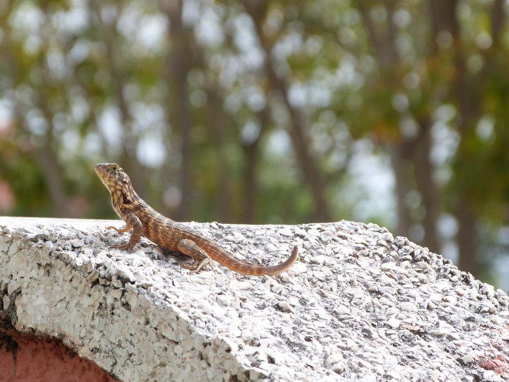 Spoonfed Baby Food Cuba Lizard.jpg