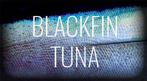 blackfin tuna.jpeg