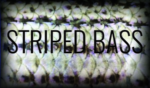 stripped bass.jpeg