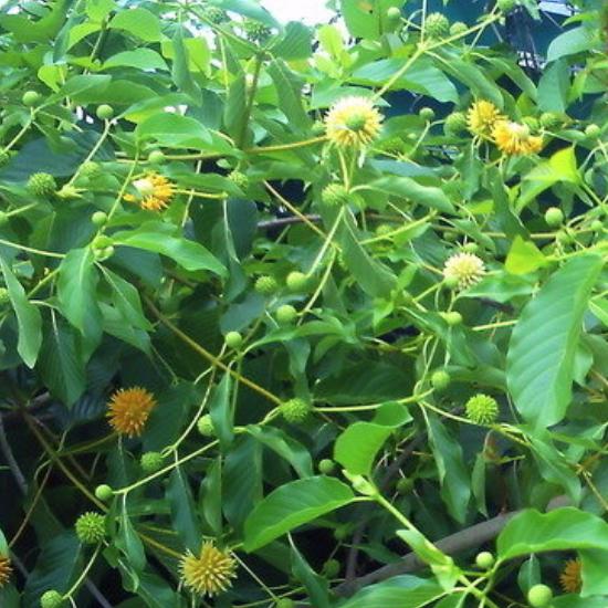 Kratom – Materia Medica — BotanicalTherapy