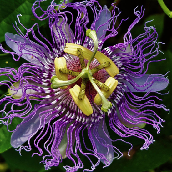 Passion Flower Materia Medica Botanicaltherapy