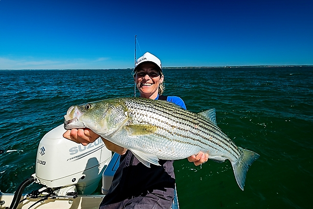 A regular sized striped bass that's been gorging on squid!