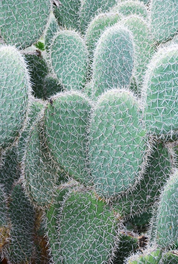 depositphotos_5826198-stock-photo-opuntia-leucotricha.jpg