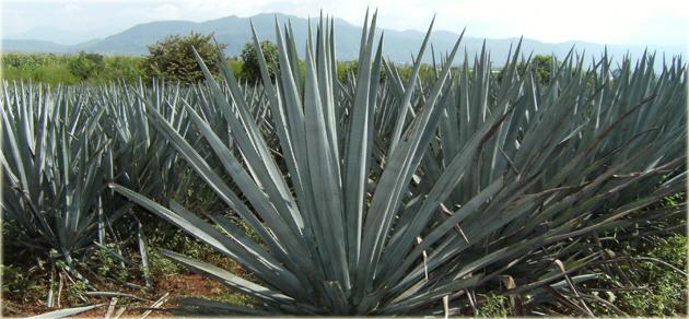 Agave-Tquila-Mezcal