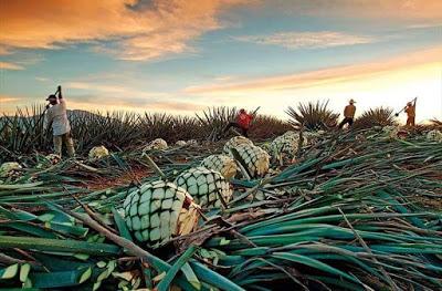 Provningar med AoP - tequila pina odlas av en agavero…