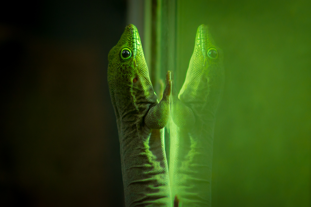 Mirror Lizard - Bristol Zoo - Sat 27 December 2014 -7184.jpg