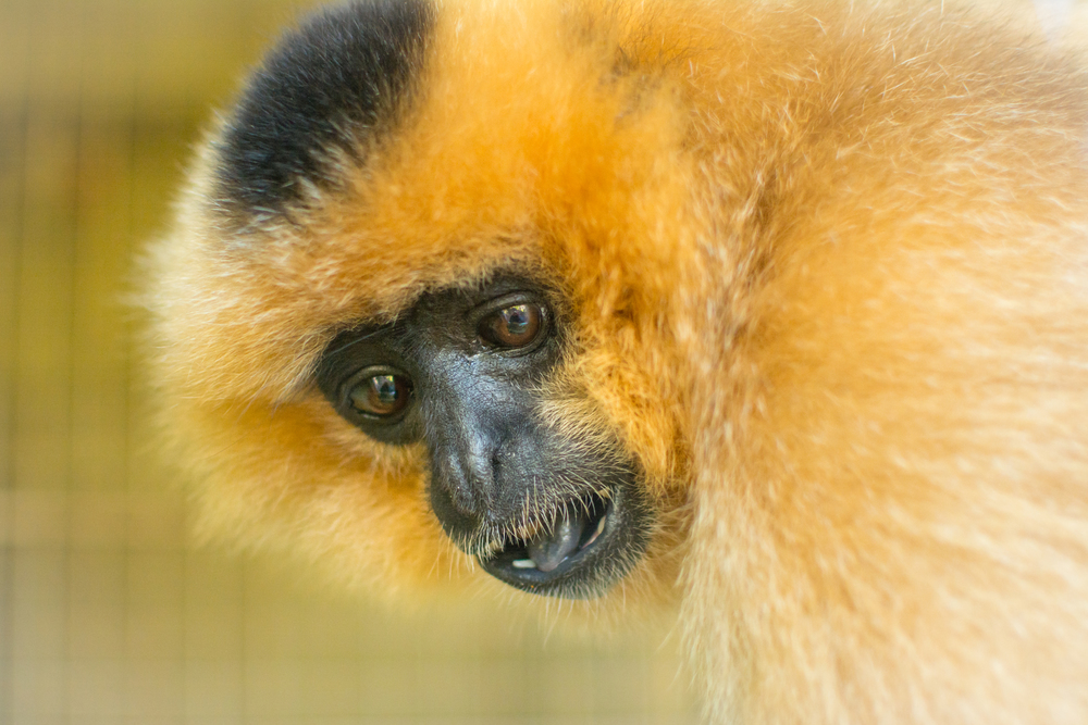 Buff Cheeked Gibbon - Edinburgh Zoo - Sun 23 November 2014 -5469.jpg