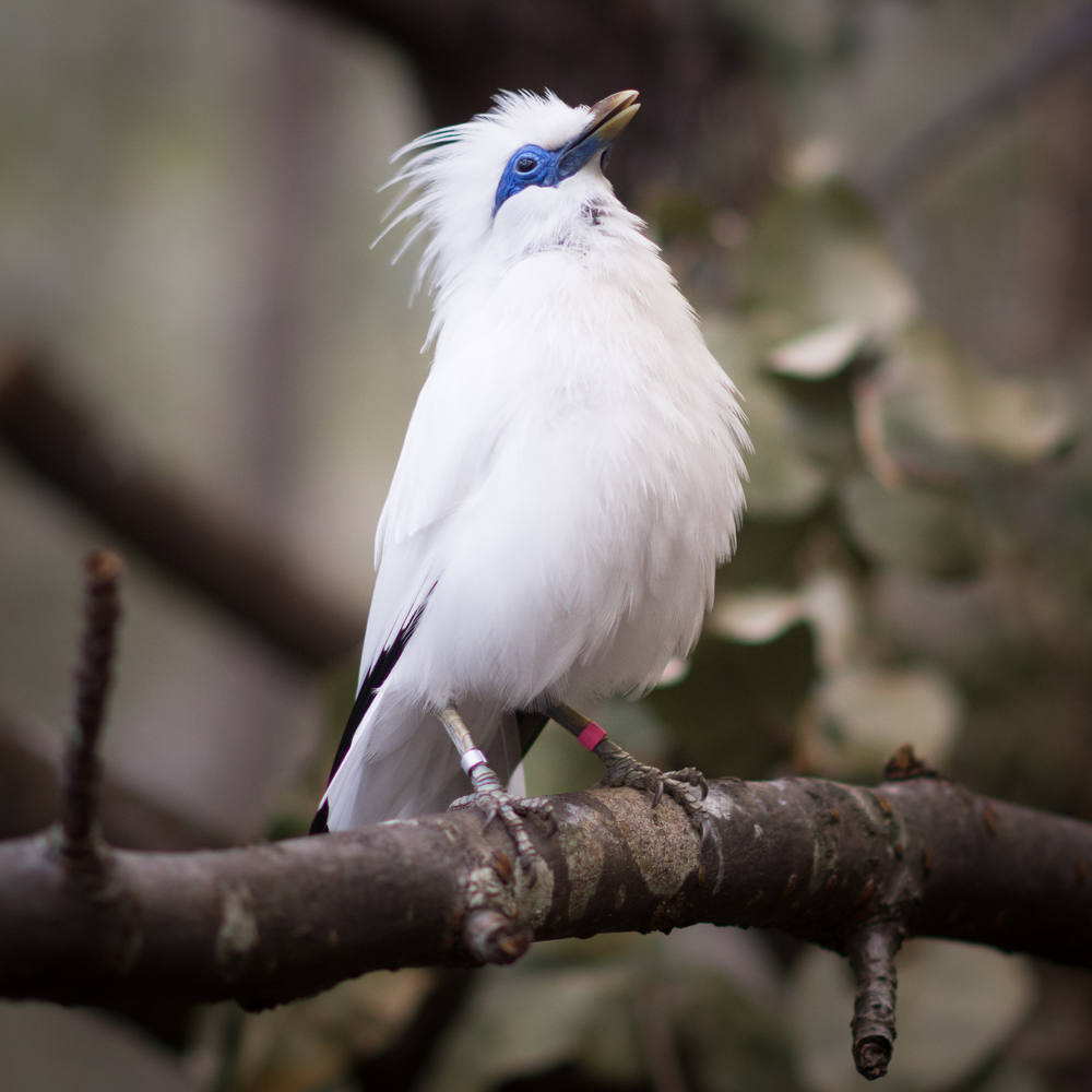 Bali Starling Edinburgh Zoo - Sat 7 March 2015 -2896.jpg