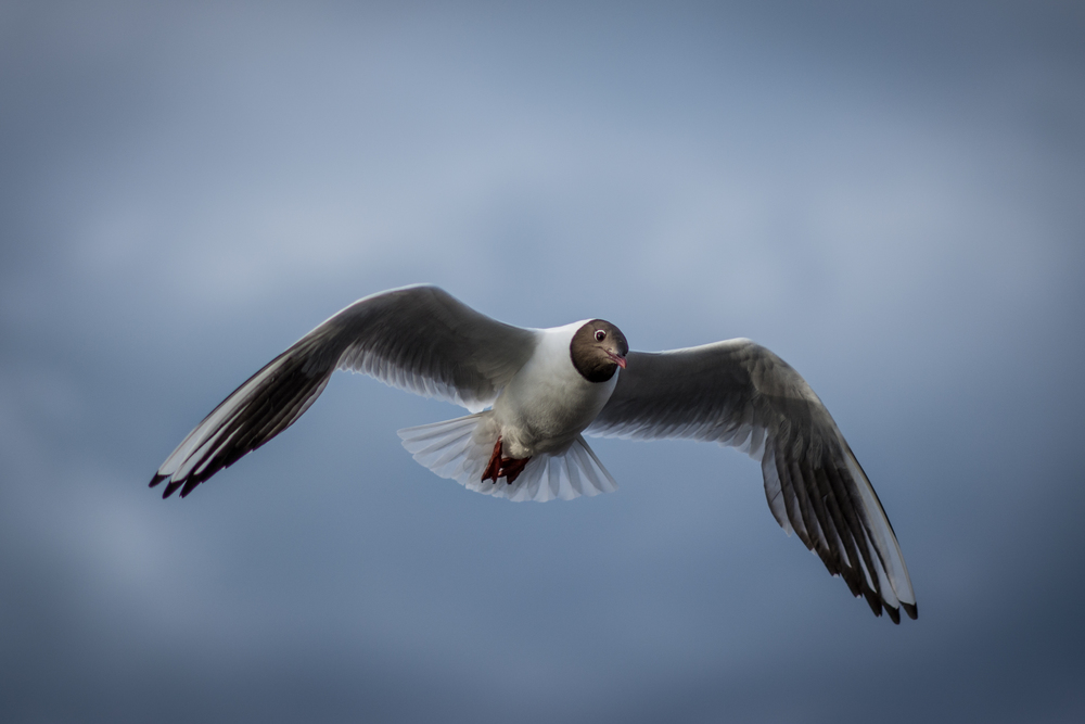 Black Headed Gull - Cramond - Tue 1 July 2014 -8176.jpg