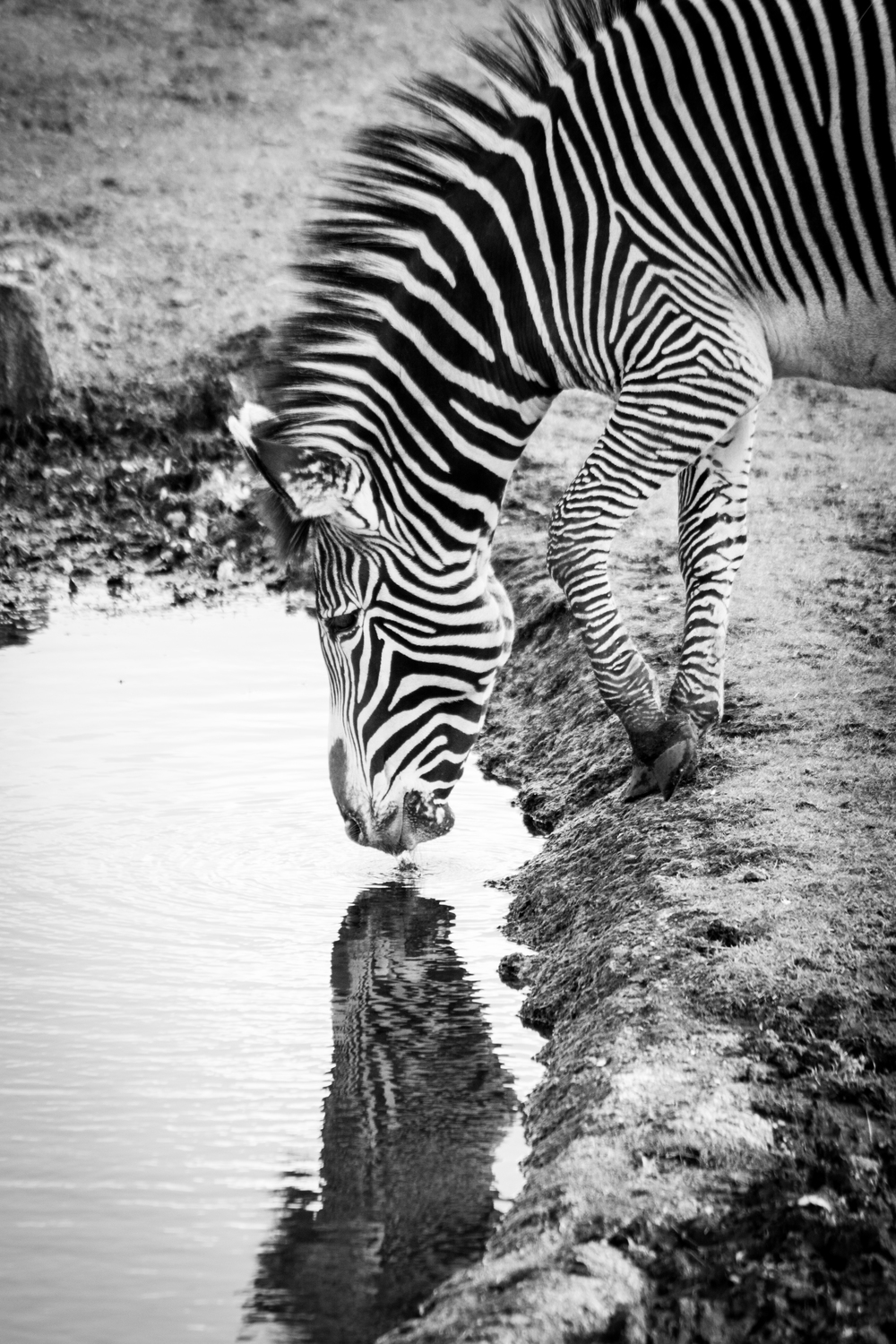 Zebra Reflection - Edinburgh Zoo - Sat 1 March 2014 -4183.jpg