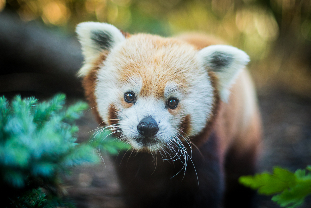 Red Pandas return to Edinburgh Zoo