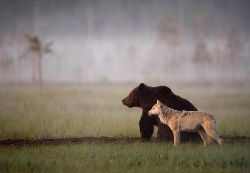 wolf-and-bear.jpg