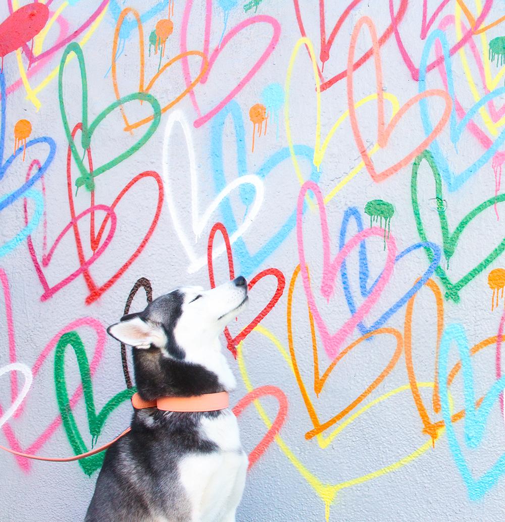 Collar dog Husky