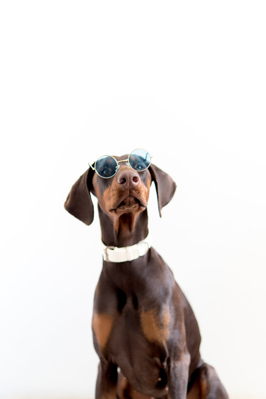eggshell collar dog