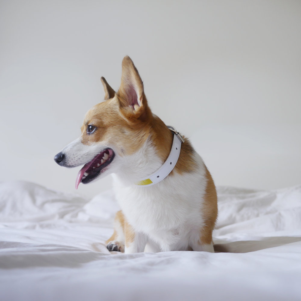 corgi yellow collar