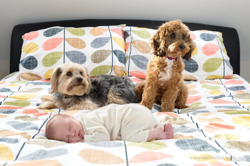 two dogs on a large bed with a sleeping newborn baby