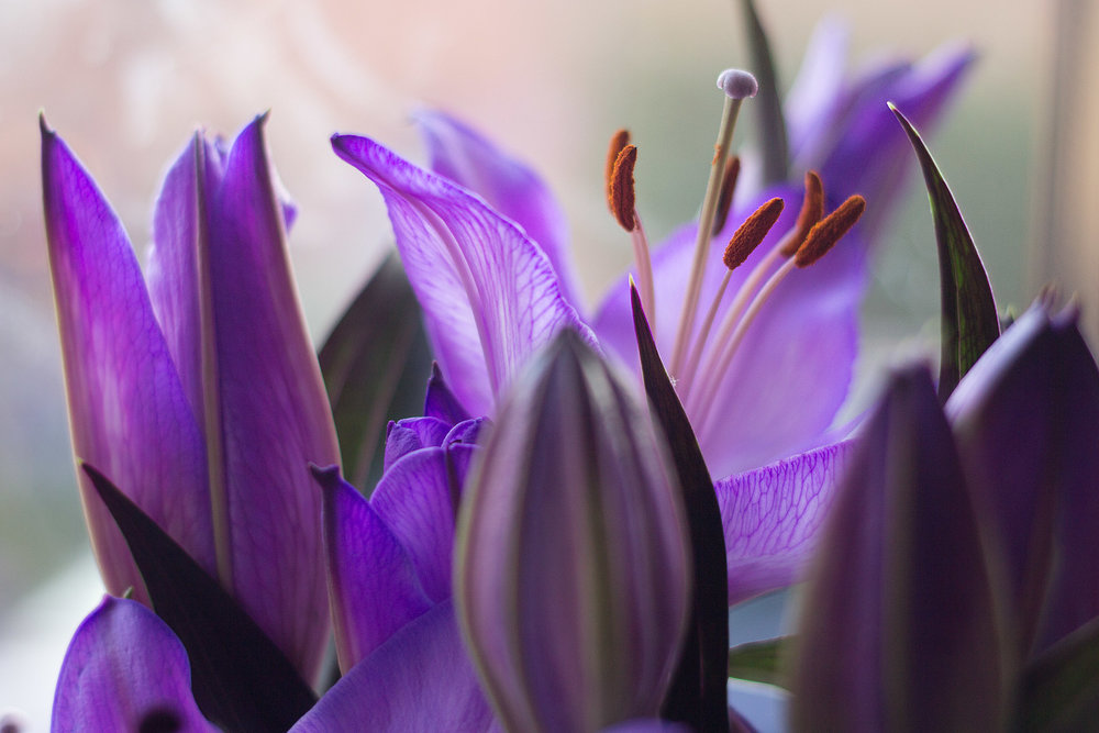 newborn-photography-hemel-hempstead-purple-lillies.jpg
