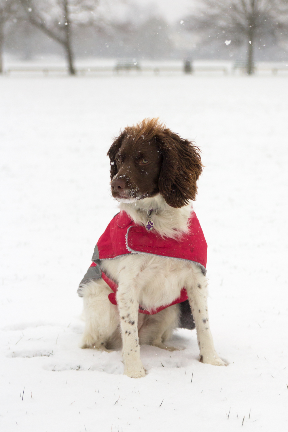 Springer Spaniel In The Snow