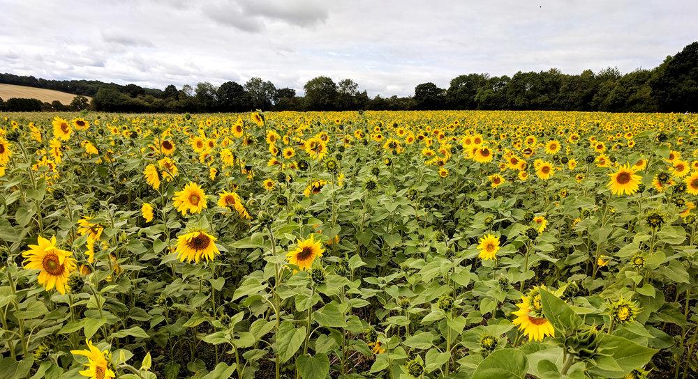 Photography-hemel-hempstead-sunflower1.jpg