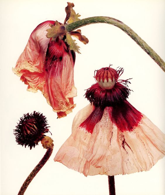 Irving Penn (American, 1917–2009) - Iceland Poppy From His Hardcover Book Flowers Published in 1980 Photograph
