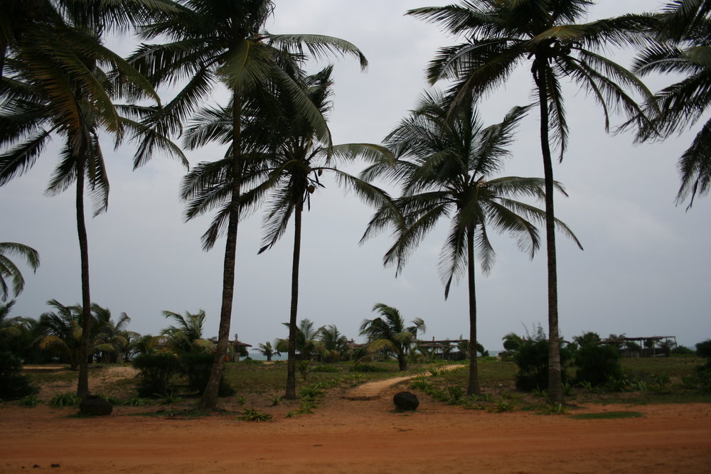 Coconut trees line the coast in Benin and provide refreshing coconut water on a hot day.
