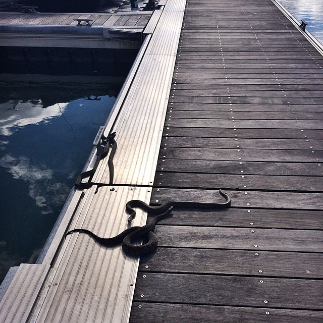 These are just a few of the ten (TEN!) snakes I passed on my walk back to the boat this morning