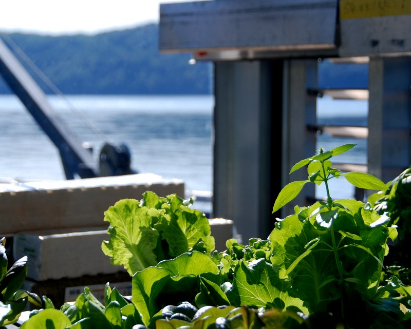 Basil and lettuce growing hydroponically on the barge