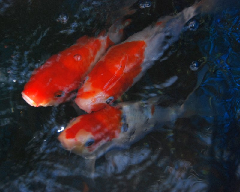 These koi eat black soldier fly larva grown on the boat, and then their droppings feed the hydroponic plants above.