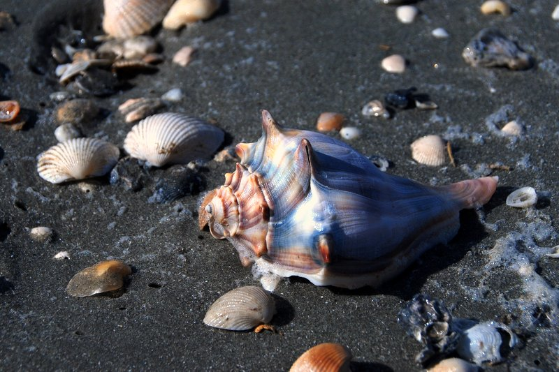 A beautiful whelk shell on the shore.