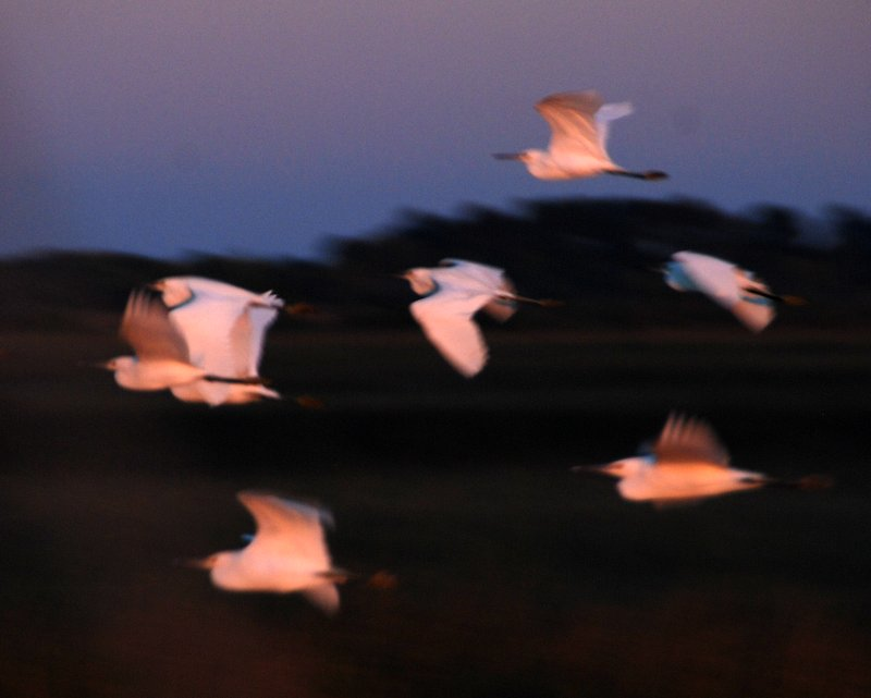 Egrets at sunset