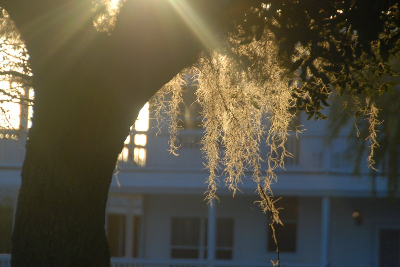 Spanish moss in the sunset light.