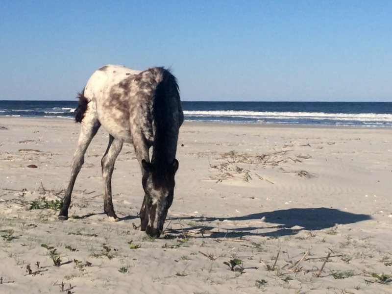 A wild pony grazing on Cumberland Island
