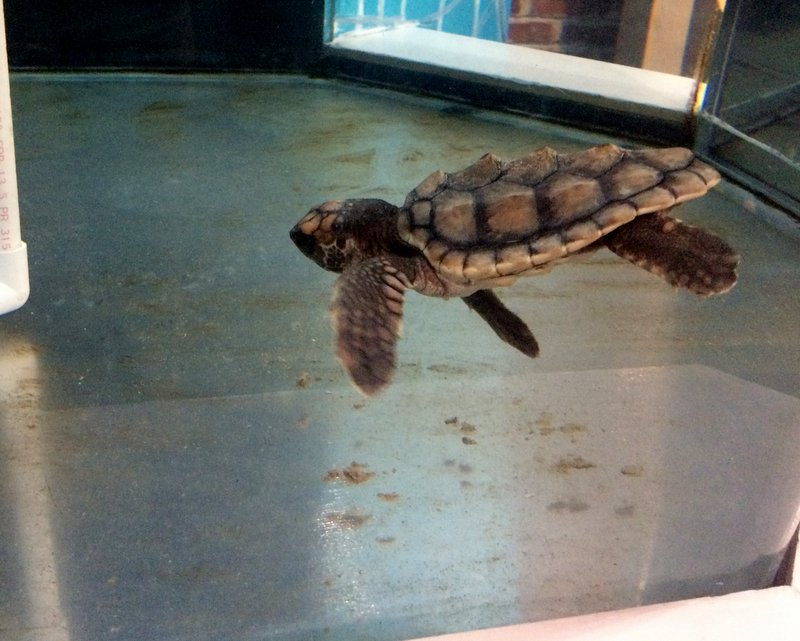 A baby loggerhead sea turtle named Bell was the cutest patient by far.