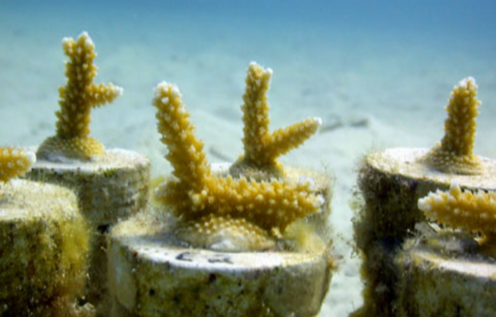 Staghorn coral fragments in a nursery. © Ken Nedimyer