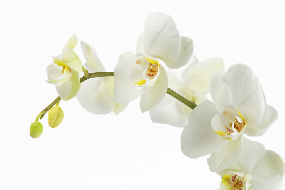 Soft White Orchid Stem Picture.jpg