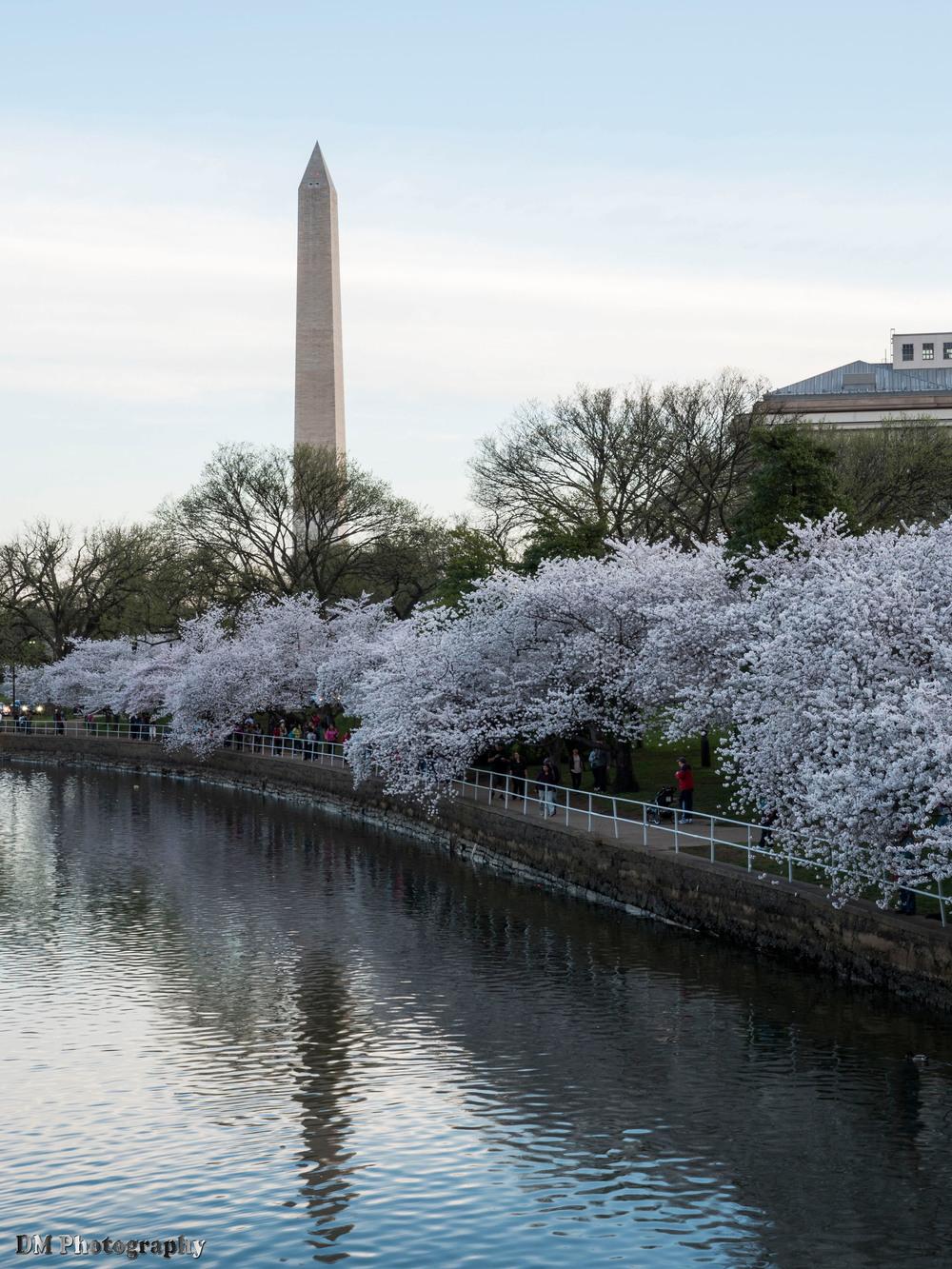 Cherry Blossoms at Tidal Basin