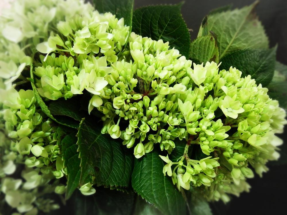 Broccoli Hydrangea